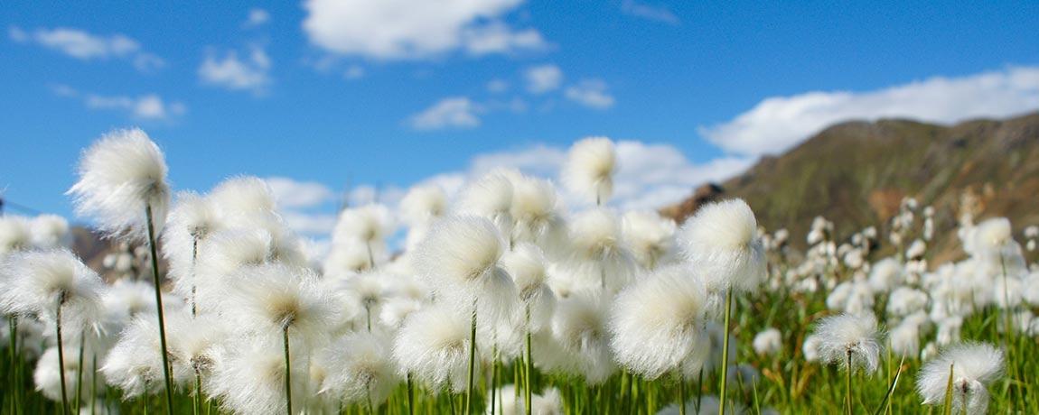 Bio-Baumwoll Grass auf einer Heide